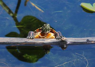 Classic Golf - Painted Turtle Basking on Log by Marlin and Laura Hum