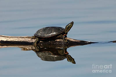 Bringing The Outdoors In - Painted Turtle Reflections by Mike Dawson