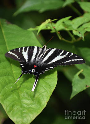Farm House Style - Painted Zebra Swallowtail by Skip Willits