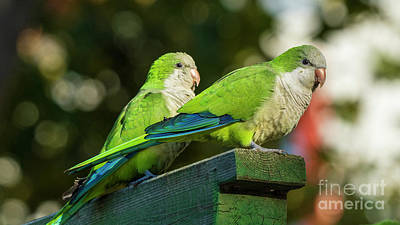 Animal Paintings David Stribbling Royalty Free Images - Pair of Monk Parakeets Perched on Wood Stand Blurred Background Cadiz Royalty-Free Image by Pablo Avanzini