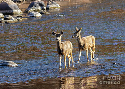 Steven Krull Royalty-Free and Rights-Managed Images - Pair of Mule Deer Crossing River by Steven Krull