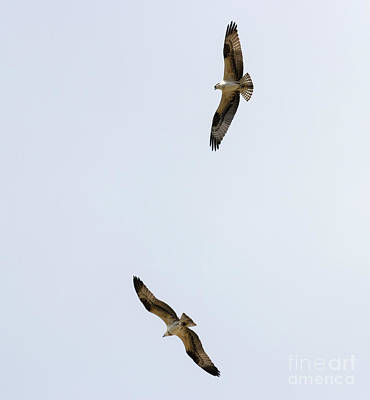 Steven Krull Royalty-Free and Rights-Managed Images - Pair of Osprey by Steven Krull