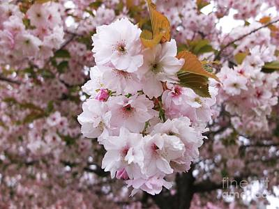 Photograph - Pale Blossom Tree by Alison Gracie