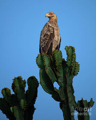 Birds Rights Managed Images - Palm Nut Vulture on a Cactus Tree Royalty-Free Image by Jamie Pham