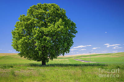 Royalty-Free and Rights-Managed Images - Palouse Lone Tree by Inge Johnsson