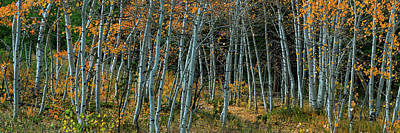Old Masters - Panoramic Aspen Tree Forest by James BO Insogna