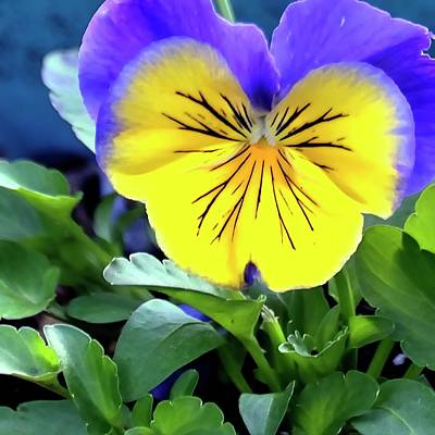 Jerry Sodorff Royalty-Free and Rights-Managed Images - Pansy Square by Jerry Sodorff
