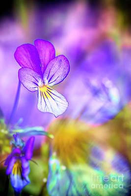 Royalty-Free and Rights-Managed Images - Pansy by Veikko Suikkanen
