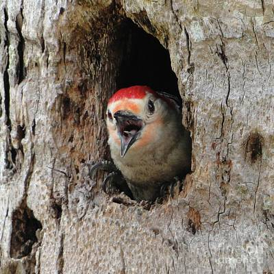 Traditional Bells Rights Managed Images - Papa Red Bellied Woodpecker Speaks Out Royalty-Free Image by Barbie Corbett-Newmin