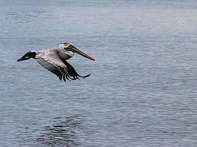 Lori A Cash Royalty-Free and Rights-Managed Images - Pelican Flying Low Over Creek by Lori A Cash