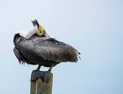 Lori A Cash Royalty-Free and Rights-Managed Images - Pelican Head Tucked Into Wings by Lori A Cash
