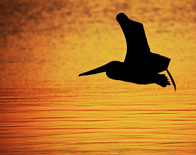 Lori A Cash Royalty-Free and Rights-Managed Images - Pelican in Flight Silhouette by Lori A Cash