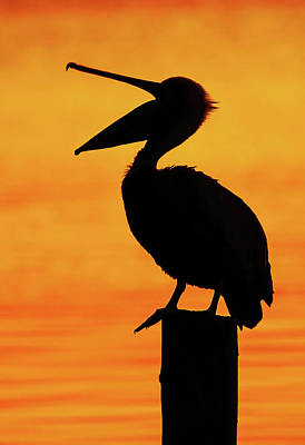 Lori A Cash Royalty-Free and Rights-Managed Images - Pelican Silhouette Throat Stretching by Lori A Cash