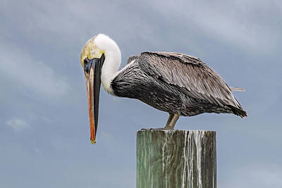 Firefighter Patents - Pelican Watching for Food by Fon Denton
