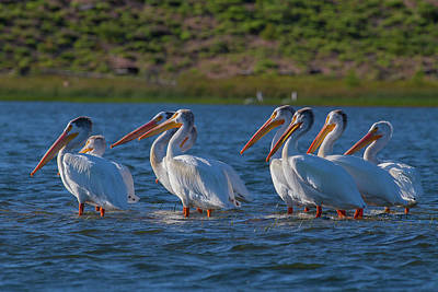 Thomas Kinkade Royalty Free Images - White Pelicans in Warm Light Royalty-Free Image by Mike Lee