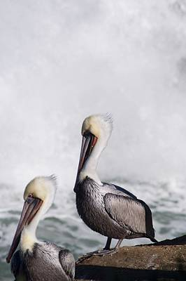 Photograph - Pelicans of La Jolla by Scott Norton