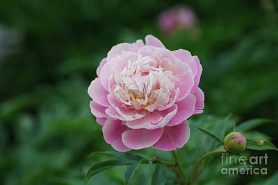World Forgotten - Peony Morning Awakening by Rachel Cohen