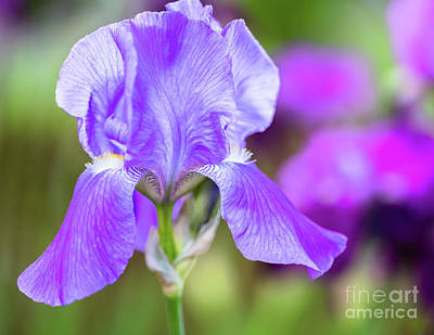 Abstract Shapes Janice Austin Royalty Free Images - Perennial Purple Iris Royalty-Free Image by Janice Noto