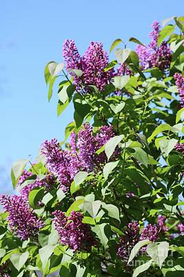 All American - Perfect Lilacs with Blue Sky by Carol Groenen