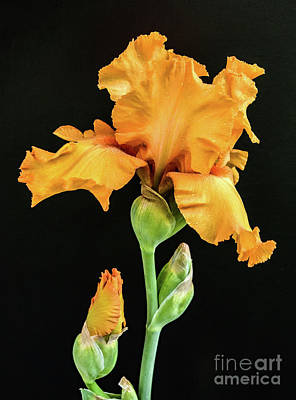 Rose - Perfect Orange Iris by Cindy Treger