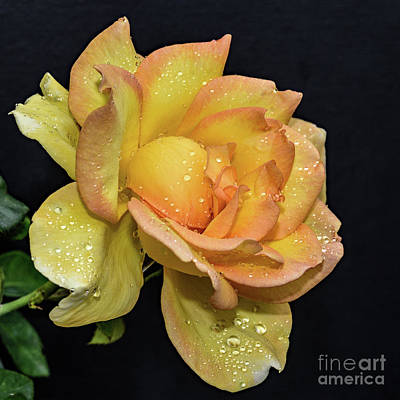 Airplane Paintings - Phenomenal Gold Struck Rose by Cindy Treger