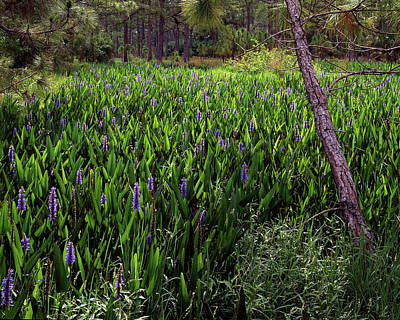 Mountain Landscape Royalty Free Images - Pickerel Weeds Royalty-Free Image by Rudy Umans