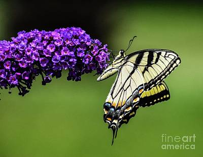 Animals Royalty-Free and Rights-Managed Images - Picture Perfect Eastern Tiger Swallowtail by Cindy Treger