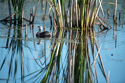 Fall Animals - Pie Billed Grebe by Keith Homan