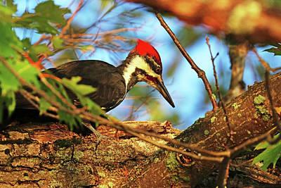 The Bunsen Burner - Pileated Woodpecker In Oak Tree by Debbie Oppermann