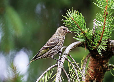Ethereal - Pine Siskin In Spruce Tree by Debbie Oppermann