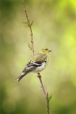 Pittsburgh According To Ron Magnes - American Goldfinch by Joan Carroll