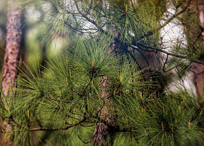 Uncle Sam Posters Rights Managed Images - Pine Tree in Spring Royalty-Free Image by Judy Vincent