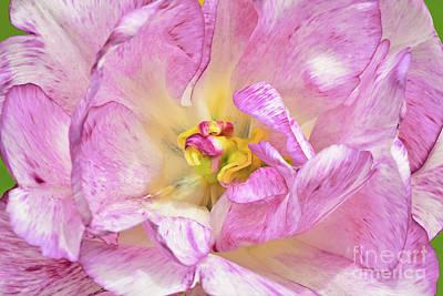 Studio Grafika Typography - Pink and White Tulip Beauty by Regina Geoghan