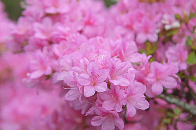 Royalty-Free and Rights-Managed Images - Pink Bloom Of Rhododendron Helena 4 by Jenny Rainbow