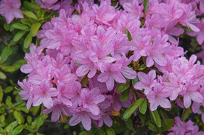 Royalty-Free and Rights-Managed Images - Pink Bloom of Rhododendron Helena by Jenny Rainbow