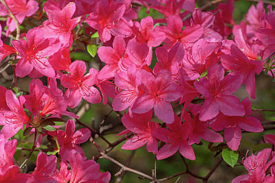 From The Kitchen - Pink Blooms of Azalea Japonica by Jenny Rainbow