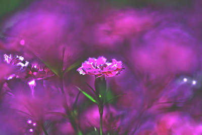 Royalty-Free and Rights-Managed Images - Pink Carnation by Az Jackson