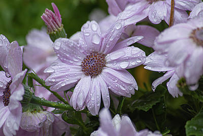 Door Locks And Handles - Pink Cinerarias Blooming In Spring Rain With Dew Drops by Taya Johnston