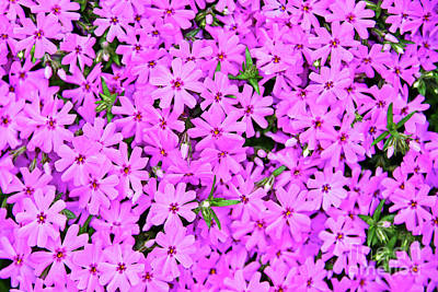 Pasta Al Dente - Pink Creeping Phlox Flowers by Regina Geoghan