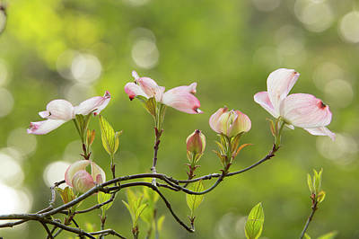 Kitchen Mark Rogan - Pink Dogwood Flowers on a Twig by Mary Jo Allen