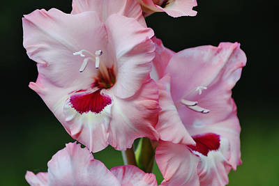 Fruits And Vegetables Still Life - Pink Gladiolus Flowers Close Up in Green Background by Gaby Ethington