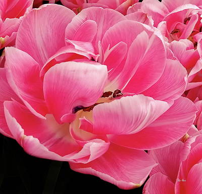 Photograph - Pink Impression Tulip by Russ Harris
