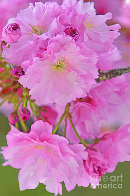 Royalty-Free and Rights-Managed Images - Pink Kwanza Cherry Blossom Cascade  by Regina Geoghan