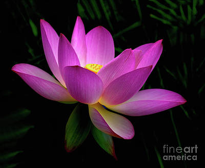 Winter Animals - Pink Lotus Flower by Ava Reaves
