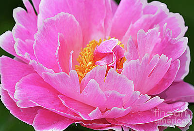 Royalty-Free and Rights-Managed Images - Pink Peony Blossom  by Regina Geoghan
