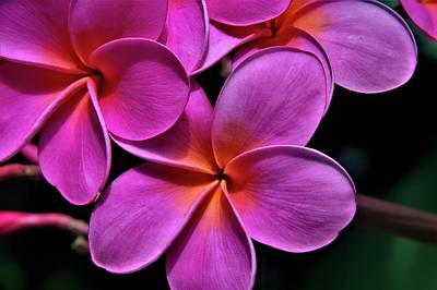 Spot Of Tea Royalty Free Images - Pink Plumeria Royalty-Free Image by Heidi Fickinger