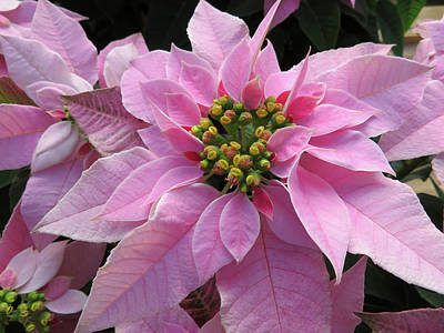 Animals Royalty-Free and Rights-Managed Images - Pink Poinsettia by Jennifer Wheatley Wolf