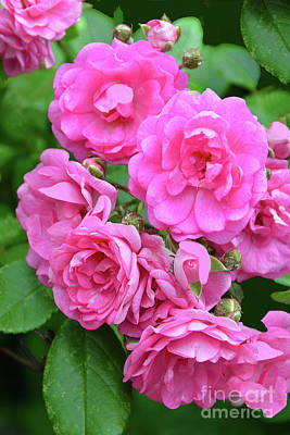 Car Photos Douglas Pittman - Pink Rose Blossom Cluster by Regina Geoghan
