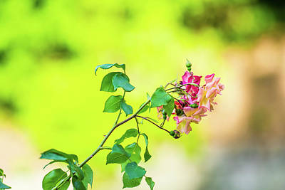 Royalty-Free and Rights-Managed Images - Pink rose flowers with green and yellow background blur by David Ridley