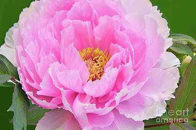 Royalty-Free and Rights-Managed Images - Pink Ruffled Peony on Green  by Regina Geoghan